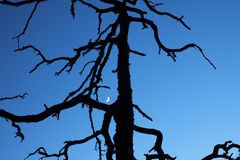 Silhouette of a dead tree Stock Images