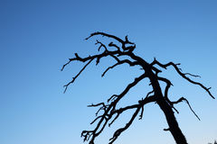 Silhouette of a dead tree Royalty Free Stock Photos