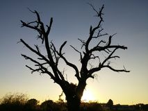 Silhouette of dead tree against sunset. Old tree with no leaves silhouetted against a sky with a setting sun at dusk Stock Photos