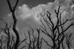 Silhouette dead tree on dark dramatic grey sky and white cumulus clouds background for scary, death, and peaceful concept. Art. And dramatic on black and white stock photography