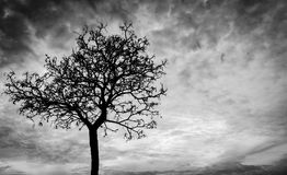 Silhouette dead tree on dark sky background for scary or death Stock Images
