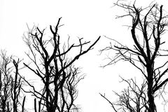 Silhouette dead tree isolated on clear white sky background for stock images