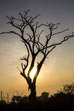 Silhouette dead tree Royalty Free Stock Images
