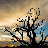 Silhouette dead tree at sunset Royalty Free Stock Image