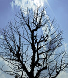 Silhouette Dead Tree under Blue Sky Royalty Free Stock Photo