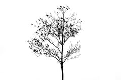 Silhouette Deciduous trees isolate on white background Stock Photo