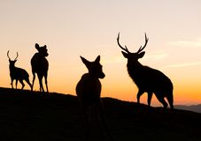 Silhouette of deer. Outdoor beautiful scenery landscape Royalty Free Stock Image