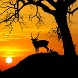 Silhouette of deer with tree against sunset at mountain. Stock Photo