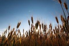 Silhouette des épillets du blé d'or sur le champ Beau paysage de nature rural sur le coucher du soleil photographie stock