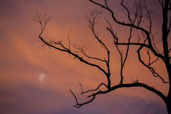 Silhouette des branches d'arbre avec la lune au crépuscule photos stock