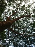 Silhouette des feuilles du grand arbre recherchant de son tronc pendant le crépuscule images stock