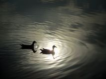Silhouette des oiseaux de natation images libres de droits