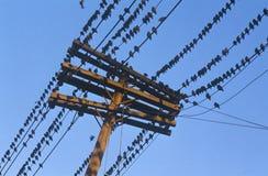 Silhouette des oiseaux sur la ligne téléphonique Photos stock