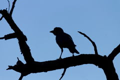 Silhouette des oiseaux sur un arbre mort à un fond de ciel bleu Photos libres de droits