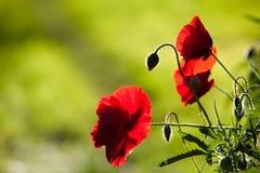 Silhouette des pavots rouges Images stock