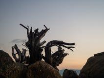 Silhouette des racines d'arbre sur la plage au coucher du soleil photos stock