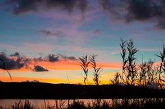 Silhouette des roseaux au coucher du soleil image stock