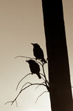 silhouette des starlings Photographie stock libre de droits