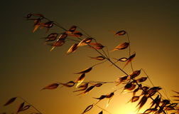 Silhouette des usines dans le pré pendant le coucher du soleil Photos libres de droits