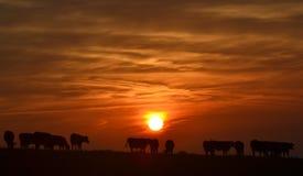 Silhouette des vaches avec le lever de soleil Image stock