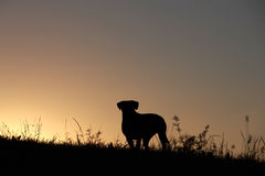 Silhouette of a dog. Silhouette of a boxer dog at sunset Stock Images