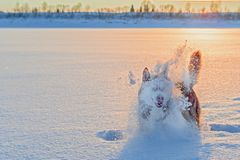 Silhouette dog play in cloud snow dust in the winter sunset. stock photography