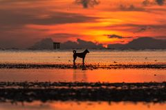 Silhouette of dog standing on sea at sunrise. With twilight time stock images