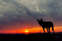 Silhouette of a dog, watching a sunset stock photography