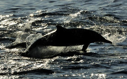 Silhouette of dolphin, swimming in the ocean  and hunting for fi Royalty Free Stock Photos