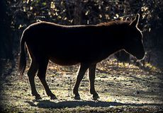 Silhouette of a donkey or ass, Equus africanus asinus, against the Autumn su. N Stock Image