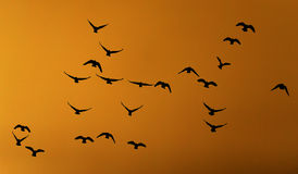 Silhouette dove on a background of a sunset Stock Photography
