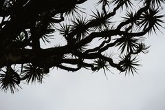 Silhouette of Dragon tree crone on grey sky background. Santo Antao, Cape Verde Cabo Verde. Contrasty Stock Photography