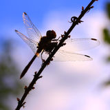 Silhouette of a dragonfly Stock Photos