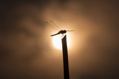 Silhouette dragonfly on stick Stock Images