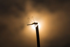 Silhouette dragonfly on stick Royalty Free Stock Photography