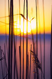 Silhouette of dried flowers and plants on a background sunset Royalty Free Stock Photography