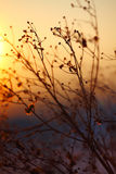 Silhouette of dried  plant on a background sunset. Shallow depth of field Royalty Free Stock Photography