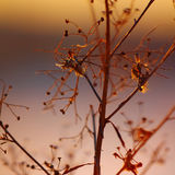 Silhouette of dried  plant on a background sunset. Shallow depth of field Stock Photos