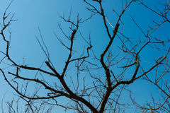Silhouette of dried trees on a cloudless blue sky background Royalty Free Stock Photos