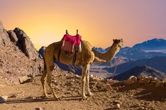 Silhouette dromedar camel on the background of the mountain of St. Moses, Egypt, Sinai stock photo