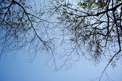 Silhouette dry branches of tree. Royalty Free Stock Image
