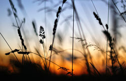 Silhouette dry grass. At sunset Stock Images