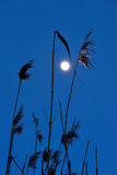 Dry reeds on dark blue sky Stock Photography