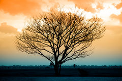 Silhouette of dry tree Royalty Free Stock Images