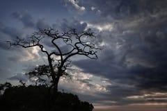 Silhouette dry tree Stock Photo