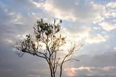 Silhouette dry tree branches with blue sky white cloudy,sunrise,copy space stock photos