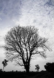 Silhouette dry tree Stock Photo