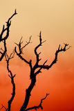 Silhouette  Dry tree Royalty Free Stock Photo
