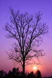 Silhouette of dry tree at sunset Royalty Free Stock Image