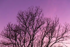 Silhouette dry tree. Twilight sky background Royalty Free Stock Photos